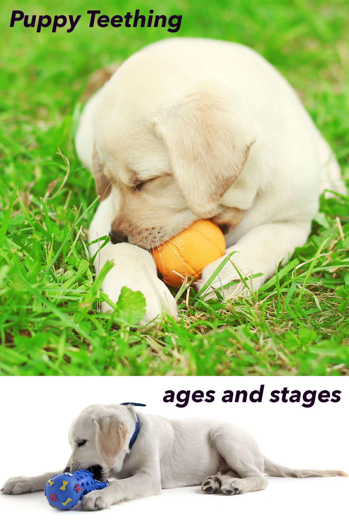 Puppy Teething and Teeth A Complete Guide to Your Puppy