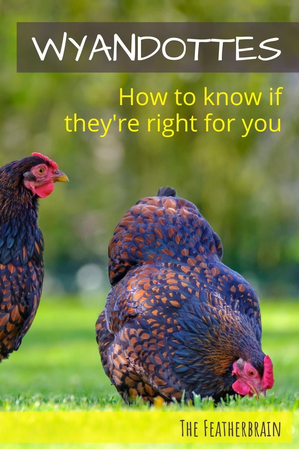 Considering Wyandotte chickens? The 13 things you