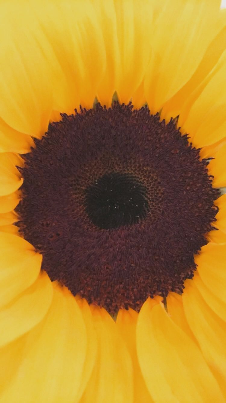 Sunflower Wallpaper Yellow