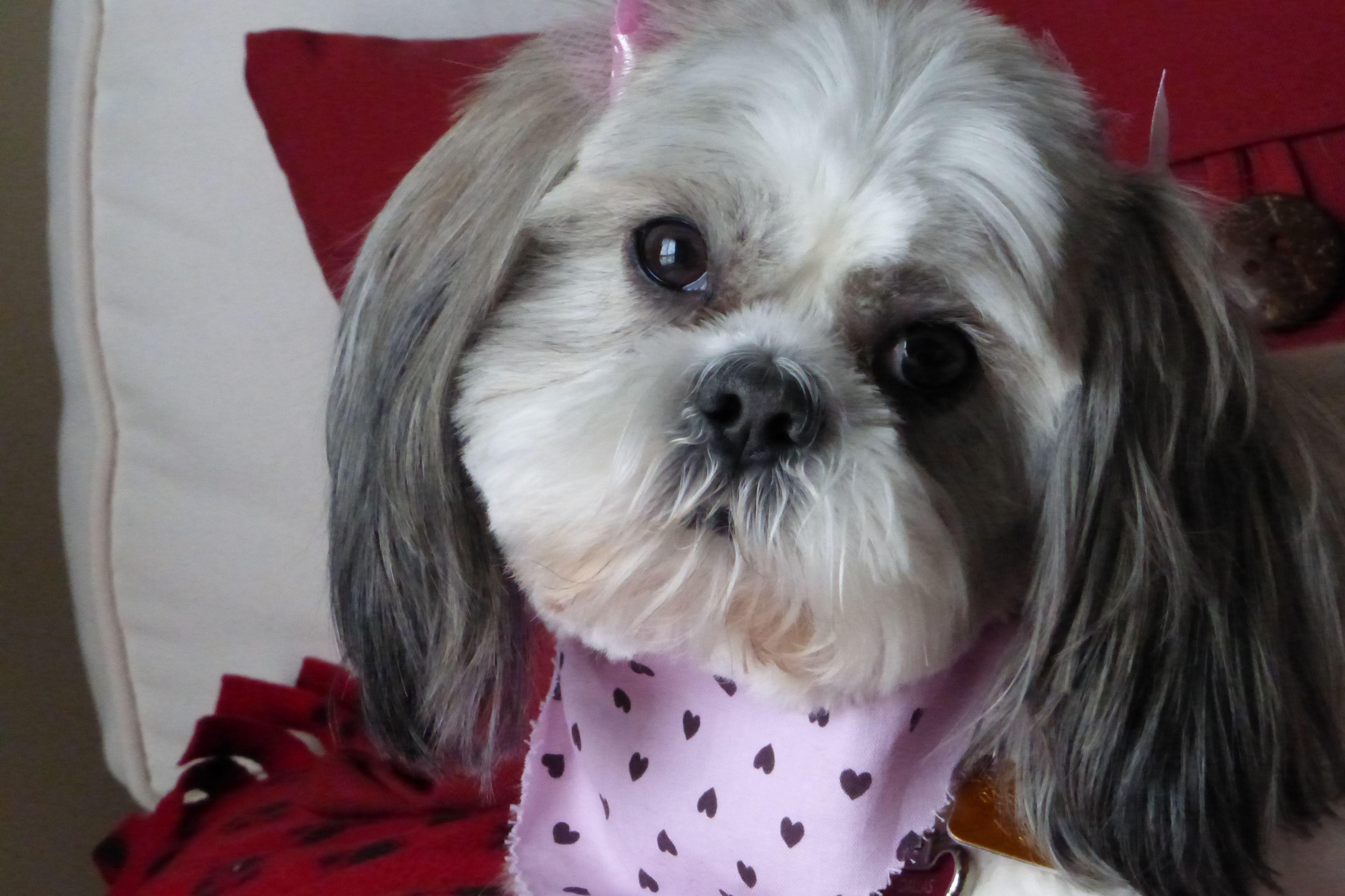 Sweet Dallas O Dawg Shih Tzu Puppy Yorkie Puppy Shih Tzus