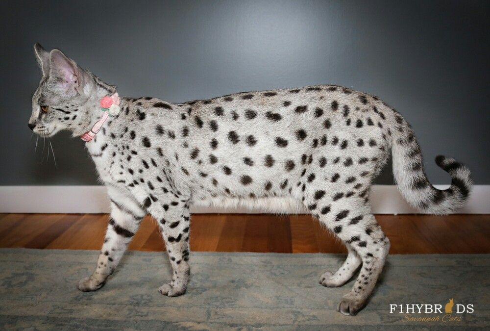 Black Silver Spotted Tabby Savannah cat, Cat colors
