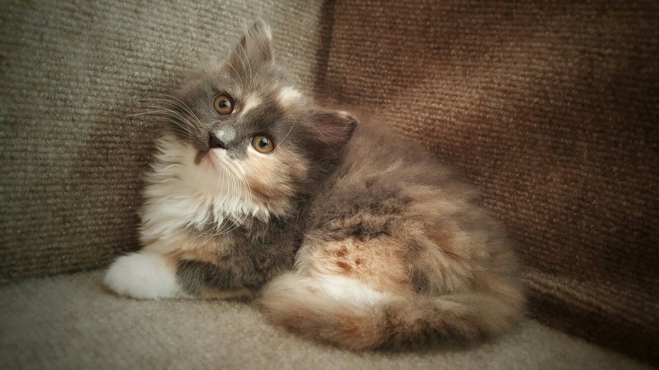 Long Hair Muted Tortie 8 Week Old Kitten Cool Cats Cats Kitten