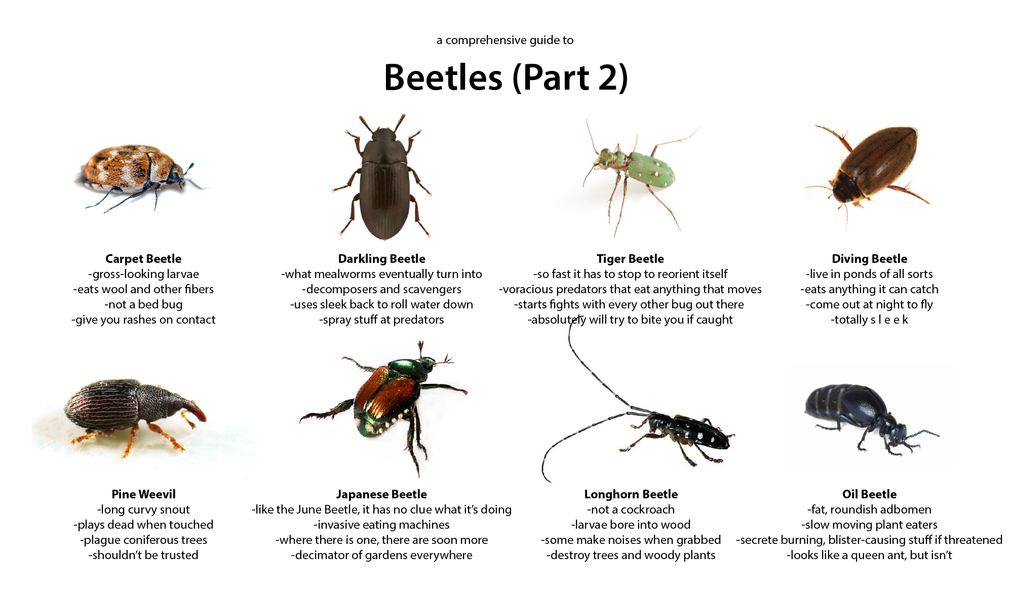 Beetle Guide Part 2 (With images) Beetle, Predator