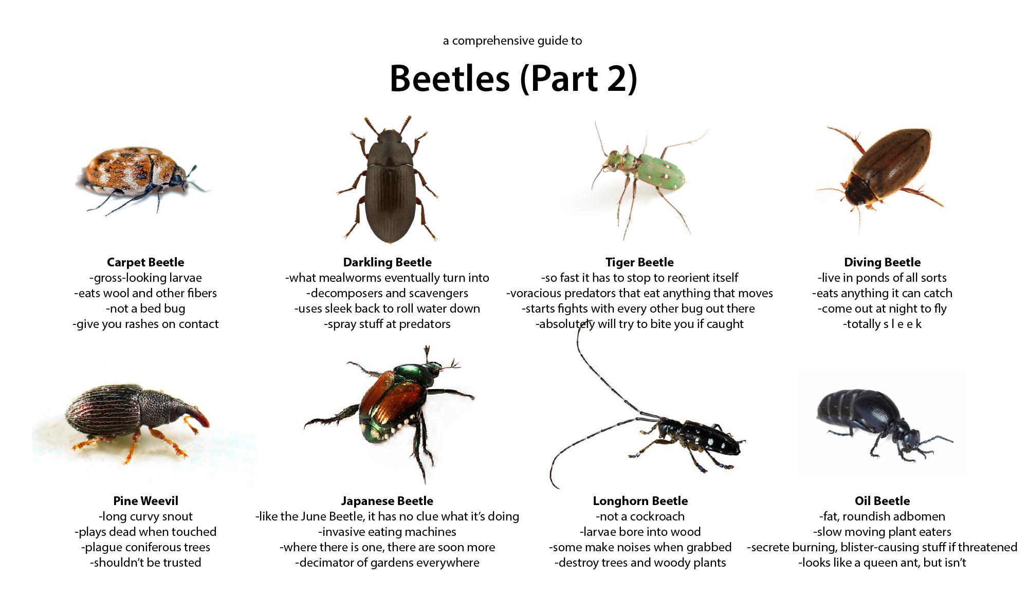 Beetle Guide Part 2 Beetle Predator Animals