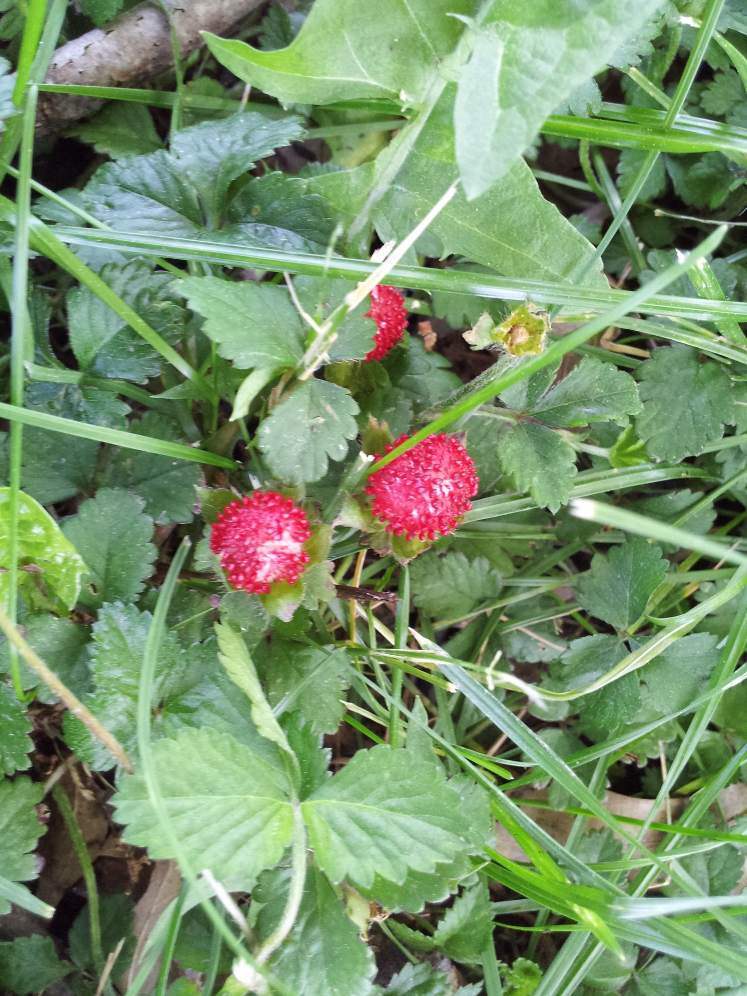I Have Wild Strawberries In My Yard Moving Them To