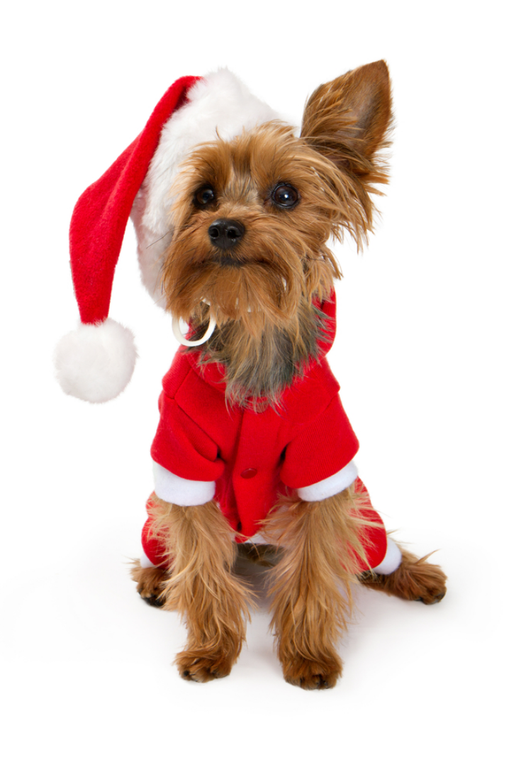 Yorkshire Terrier Dog Wearing A Red Santa Suit And Hat Isolated On White Yorkshireterrier Yorkshire Terrier Dog Yorkshire Terrier Terrier