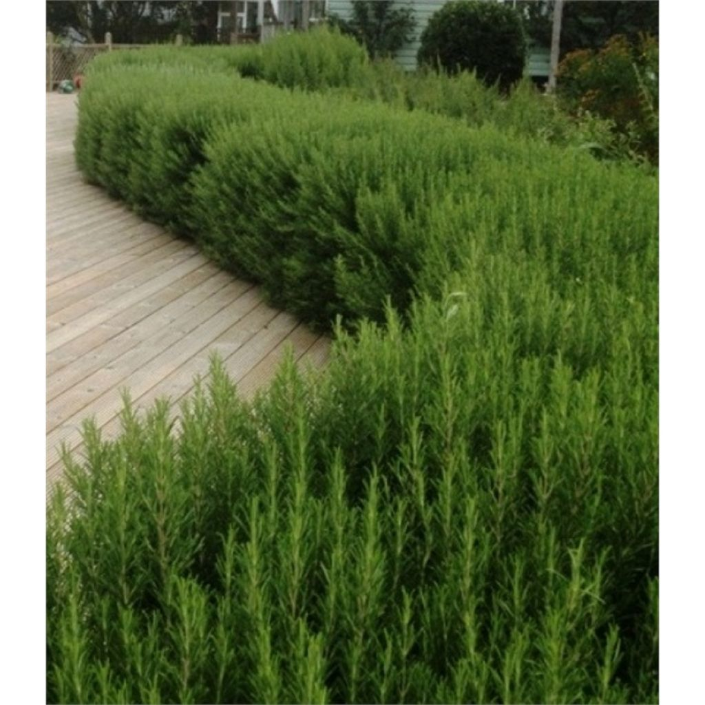 Plant A Rosemary Hedge In The Garden | Backyard, Plants and Gardens