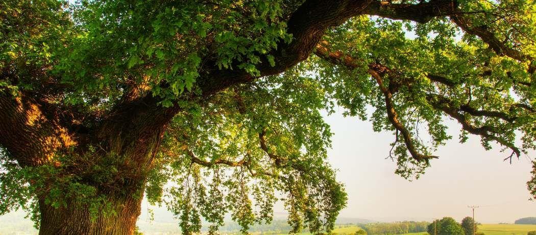 Cómo se llaman los árboles que tienen hojas todo el año
