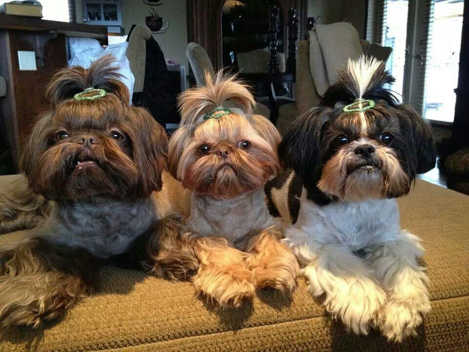 Glamorous Dolls Dogs Pets Shihtzus Puppies Facebook Com Sodoggonefunny Shih Tzu Puppy Shih Tzu Dog Shih Tzu