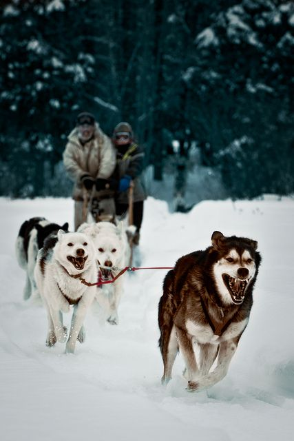 my pediatrician did the Iditarod. always thought that was so fascinating.