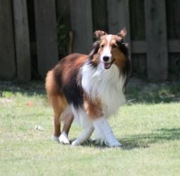 Adopt Ben On Shetland Sheepdog Shetland Sheepdog Puppies Pet Life