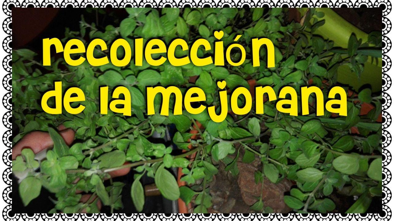 Como Recolectar Mejorana/Propiedades De La Mejorana/Mi huerto en el balcón