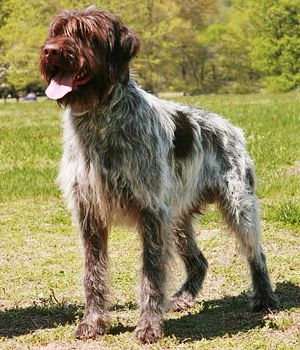 Wirehaired Pointing Griffon Price Temperament Life Span