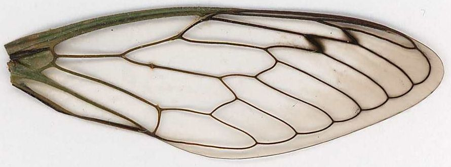 dragonfly wing drawing dragonfly wings template darwings