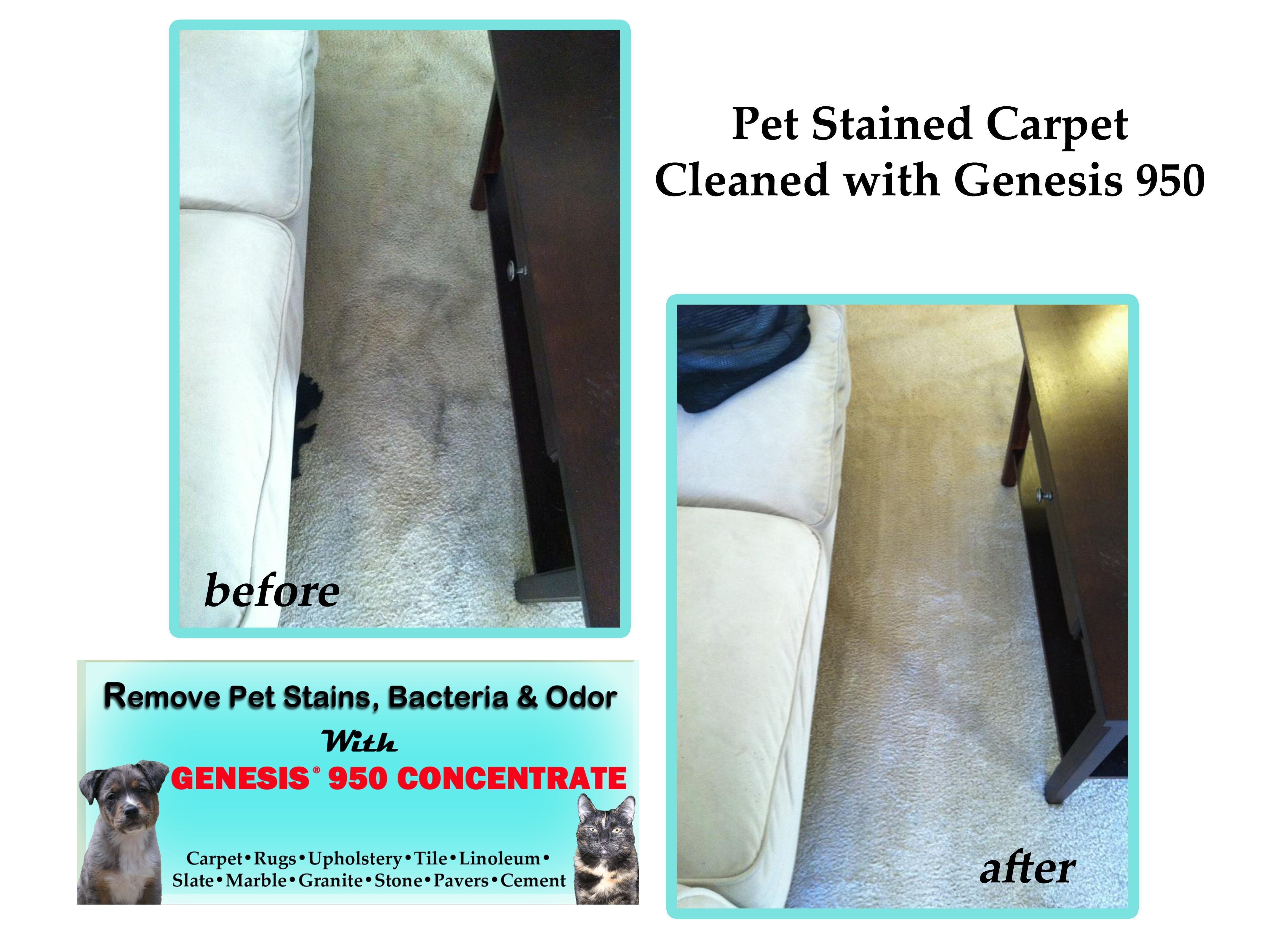 Before After Carpet Cleaning Pet Stains Old New With Genesis 950