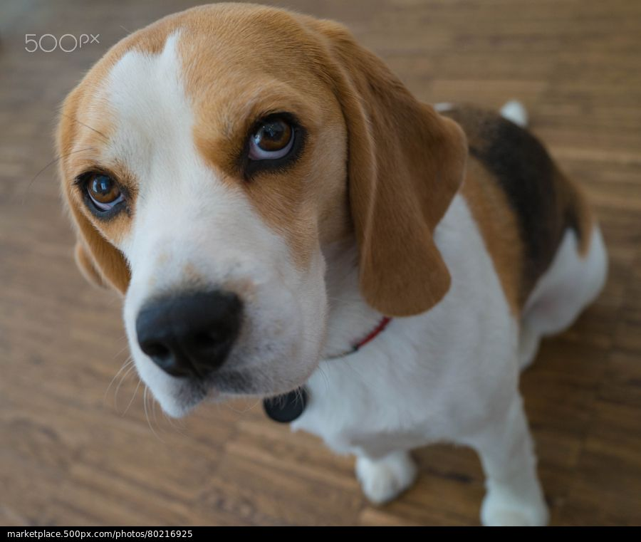 Beagle Stock Photo Beagle Beagle Dog Breed Beagle Puppy