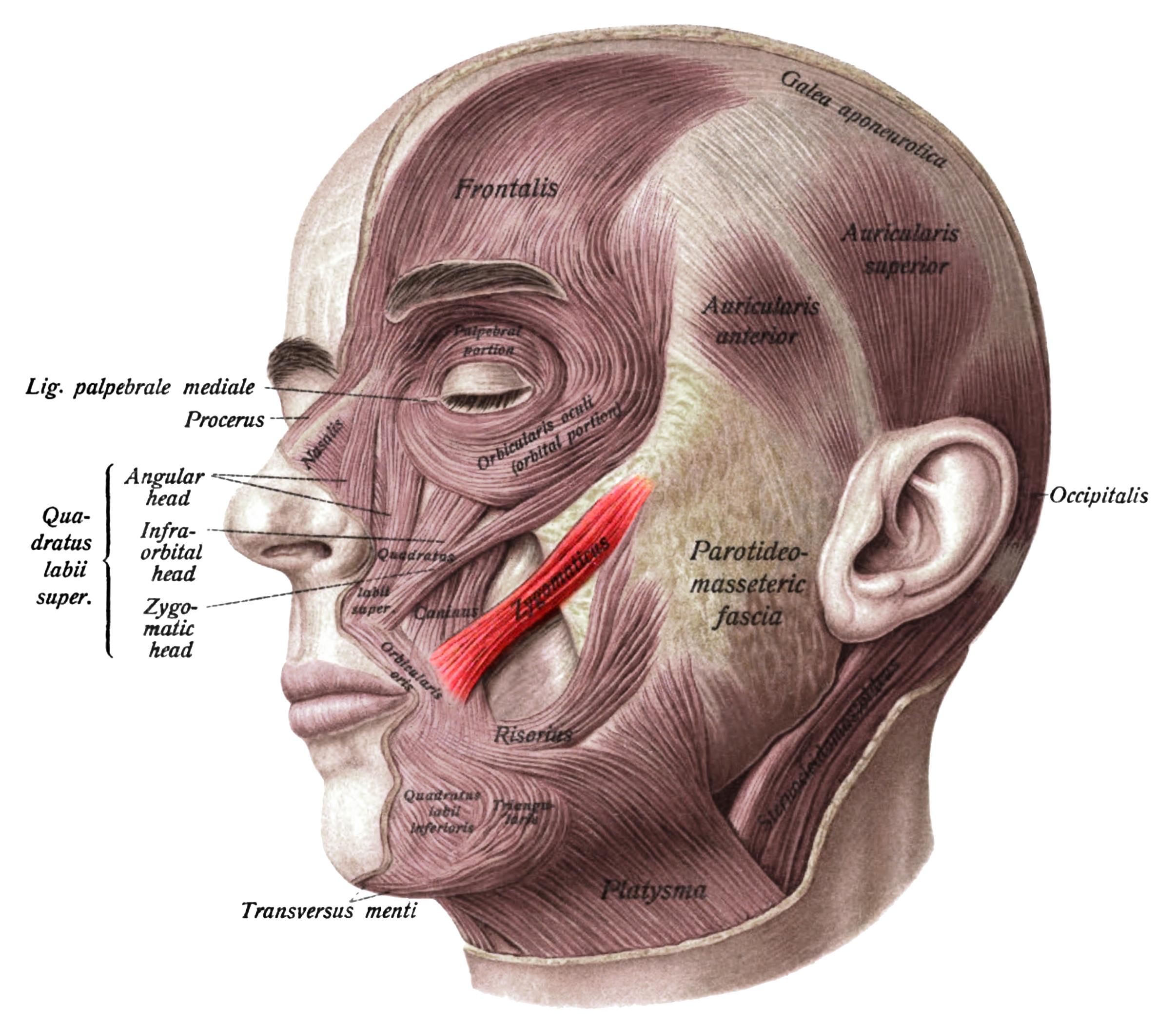 modiolus face - Google 검색 | forensic anatomy references-face ...
