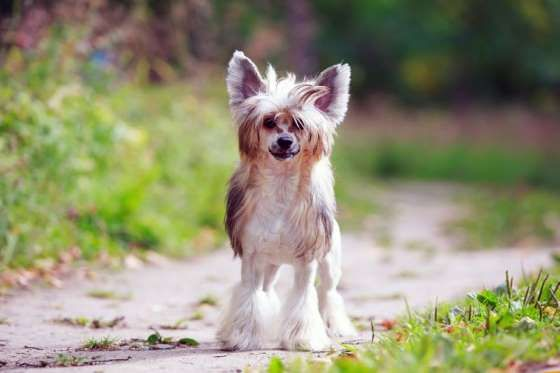 American Kennel Club Ranking: 75This toy dog breed has puffs of soft hair around its head and feet. ... - Shutterstock
