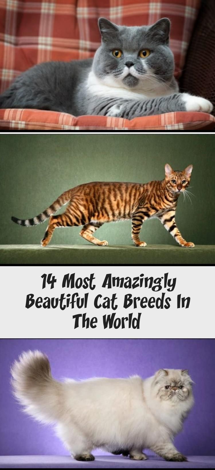 14 Most Amazingly Beautiful Cat Breeds In The World in