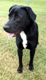 HIJACK Retriever • Adult • Male • Large Thomasville-Thomas County Humane Society Thomasville, GA