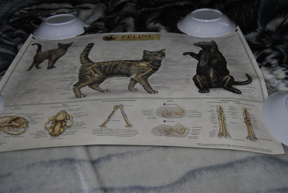 Feline Skeletal Anatomy Wall Chart Poster House Cat 1st edition ...