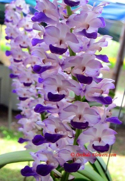 Thai Orchid Rhynchostylis Coelestis Giardini E Fiori Orchids Flowers Nature Beautiful Flowers