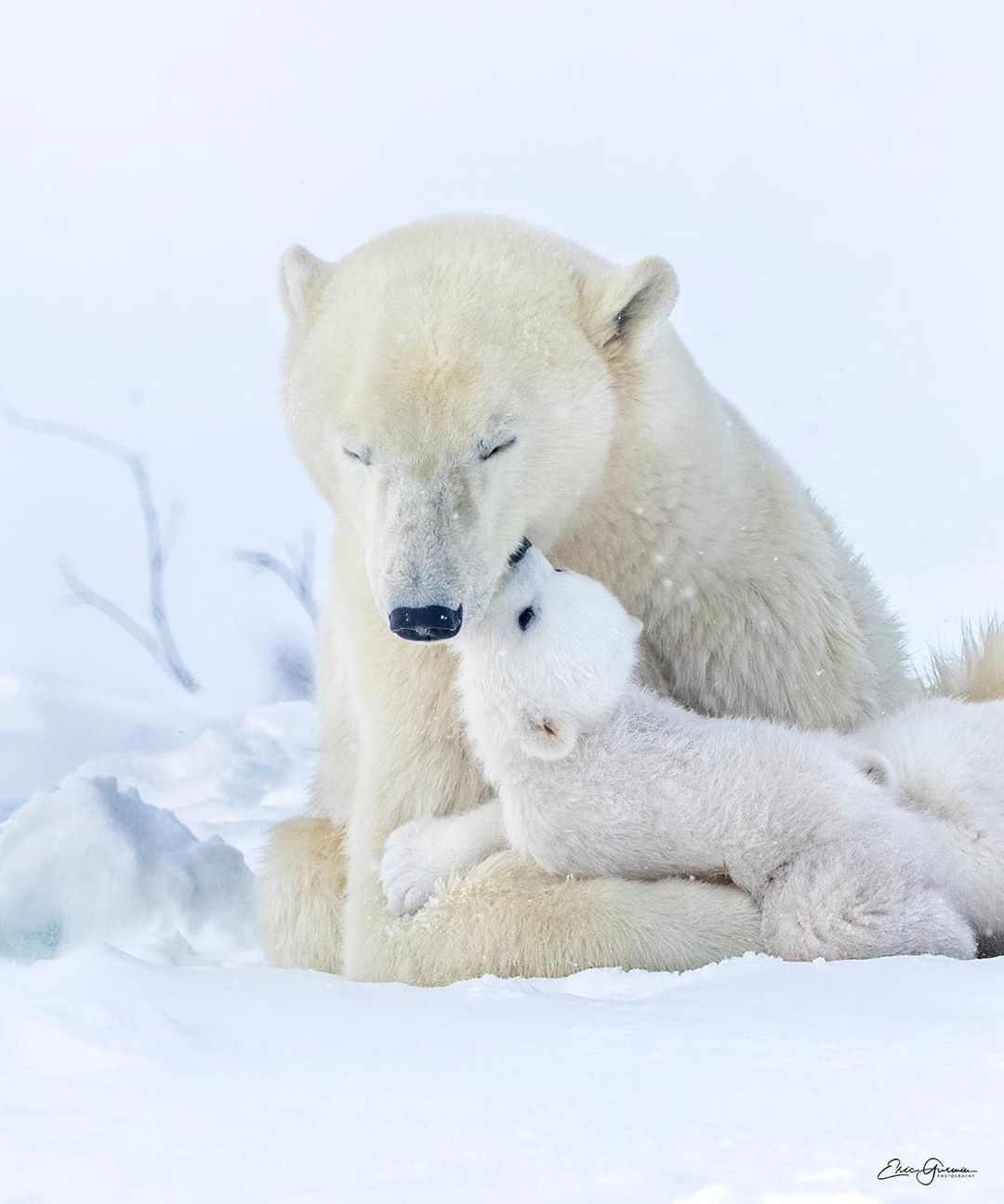 """Eric Gurwin on Instagram: """"Actions speak louder than words...a moment of true love of cub for its mother captured. #polarbears #kiss #bearcub #earthcapture…"""""""