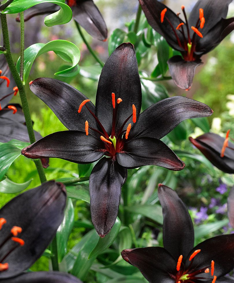 Asiatic lily queen of the night flower bulbs from bakker asiatic lily queen of the night thoroughly spectacular and totally unique queen of night boasts big flowers so dark they appear black in the garden izmirmasajfo