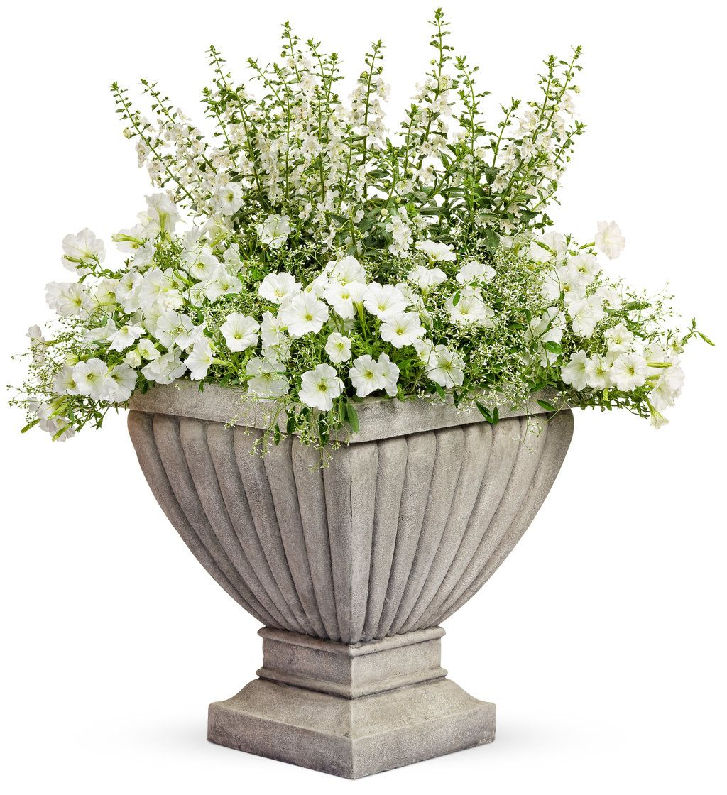 Angelface®+White+-+Summer+Snapdragon+-+Angelonia+angustifolia+hybrid