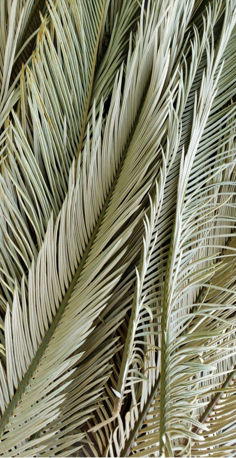 Dried Palm Fronds -