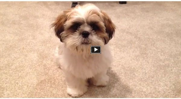 Shih Tzu Puppy Learns An Adorable Trick Video Cute Animals