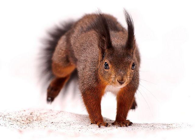 Jumping squirrel | Flickr - Photo Sharing!