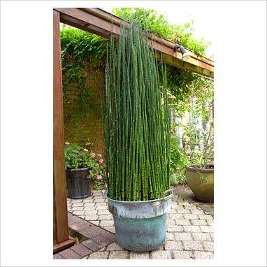equisetum japonicum things for titus estates jardins biblioth 232 ques et photos