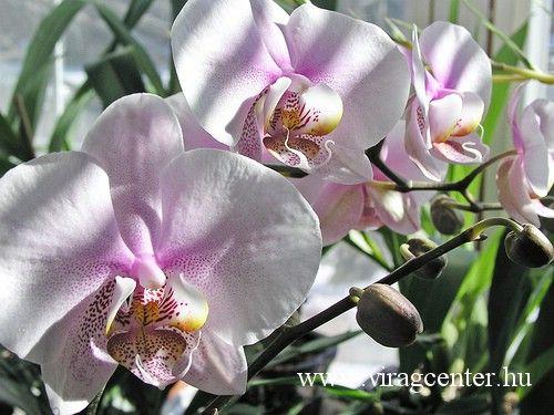 Orchidea ápolása otthon