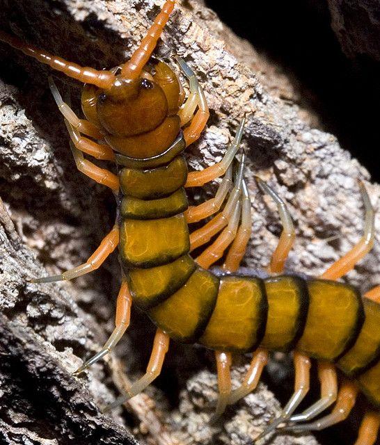 Centipede Body Scolopendra Morsitans ヤスデ ムカデ 生き物
