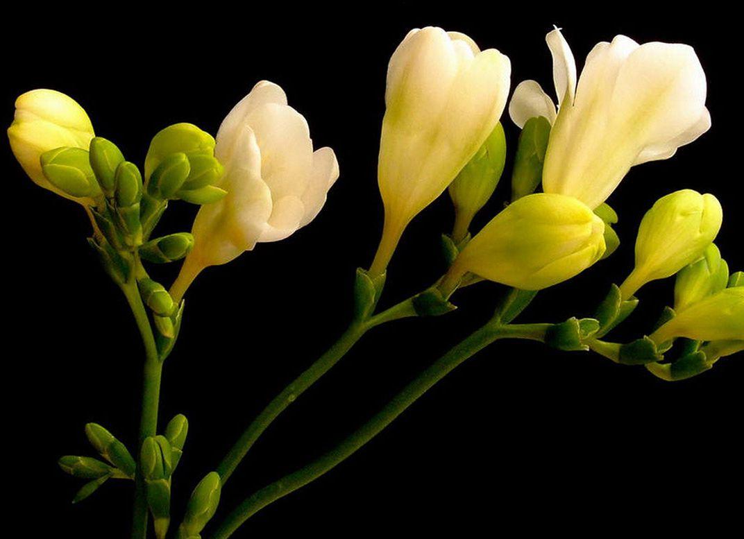 Freesia Flower Arrangements Fantastic Freesia Pinterest