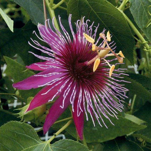 Pin On Passion Flower Stuff