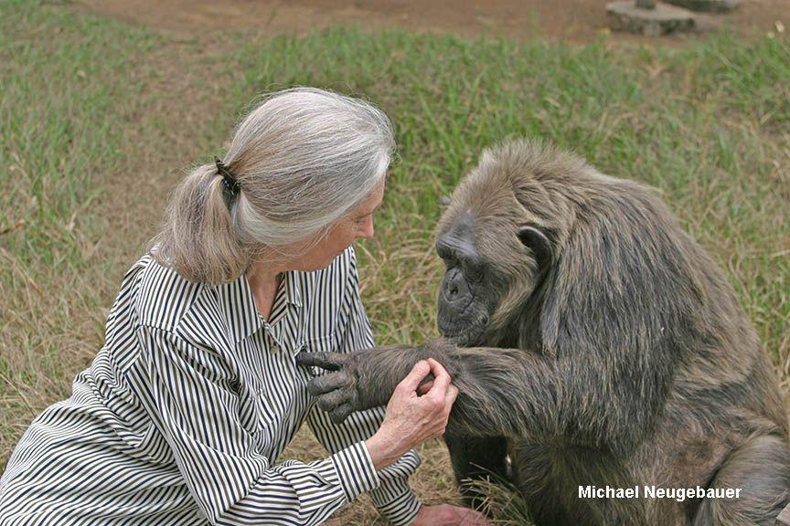 Dr. Jane Goodall with chimpanzee Lavielle at Tchimpounga ...
