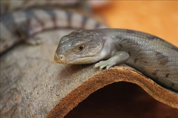 The Seven Dwarfs Are Looking For Their New Homes This Is Sneezy Just One Of Our Domestic Bluetongue Lizards Available To Adopt They Are Animal Rescue Animals Reptiles