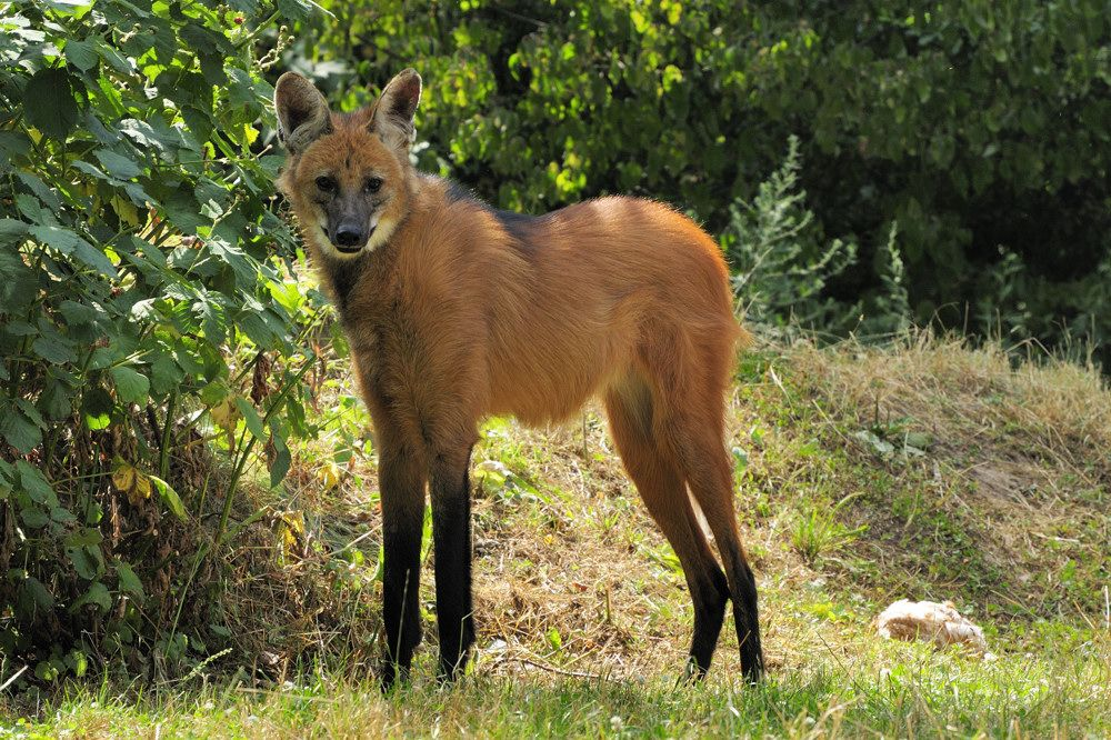 The maned wolf is the largest canid of S. America