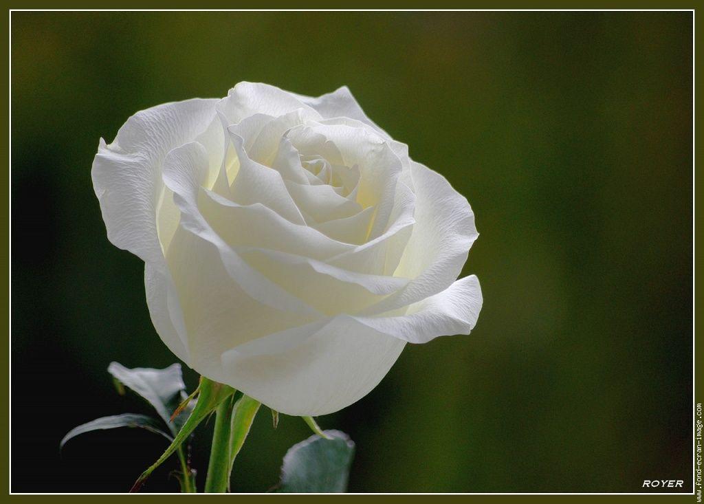fleur rose blanche fleur 0230 fleurs plantes fleurs. Black Bedroom Furniture Sets. Home Design Ideas