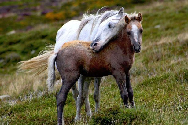 "pagewoman: "" Wild Carneddau Ponies, Snowdonia, North Wales ~ Sandra Roberts """