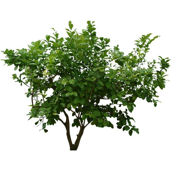 Bush Tree Jungle Texture Liked On Polyvore Featuring Home Home Decor Floral Decor Flowers Plants Trees Backgrounds Plants Trees To Plant Tree Textures