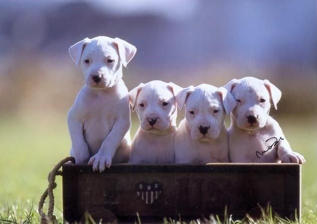 Dogo Argentino, ugh my heart! ️ I won't crop the ears ...