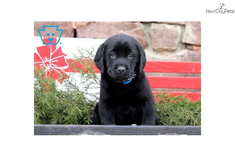Ariel Labrador Retriever Puppy For Sale Near Lancaster Pennsylvania A41c2cdb 7f81 Labrador Retriever Labrador Retriever Puppies Labrador