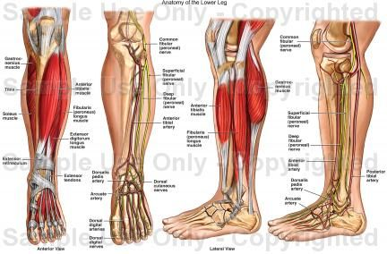 lower leg | anatomy of the human race | pinterest | legs and search, Cephalic Vein