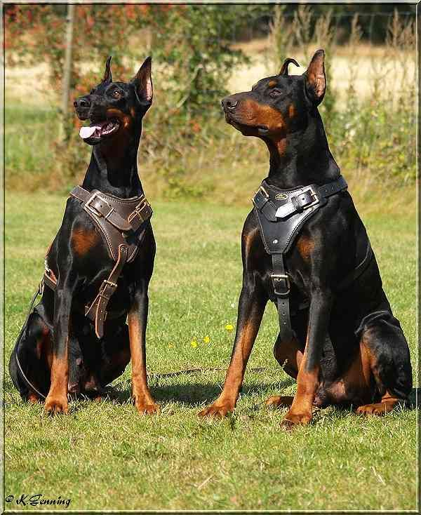 The Doberman Is A Dog Of Medium Size Although The Breed Standards