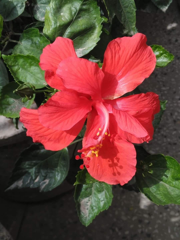 Hibiscus Flowers In Bangla Jawakusum Raktjawa Gudhal In Hindi Clicked At Home With Motog5plus Anupamasarkar Moblie Click Flowers Hibiscus
