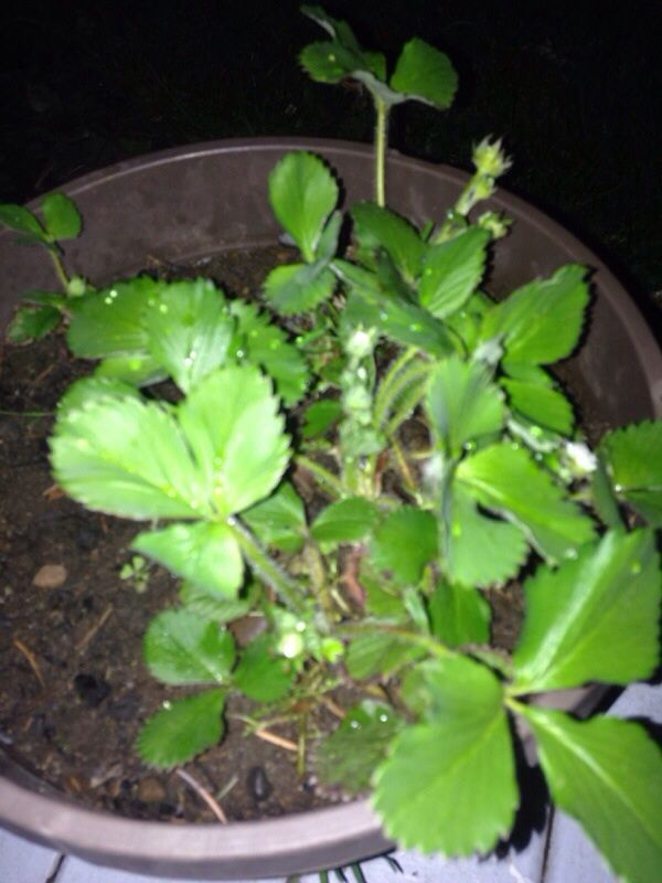 Strawberry (fragaria vesca): This looks like a strawberry plant ...