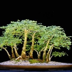 12 Acacia Bonsai Project Ideas Bonsai Acacia Bonsai Tree